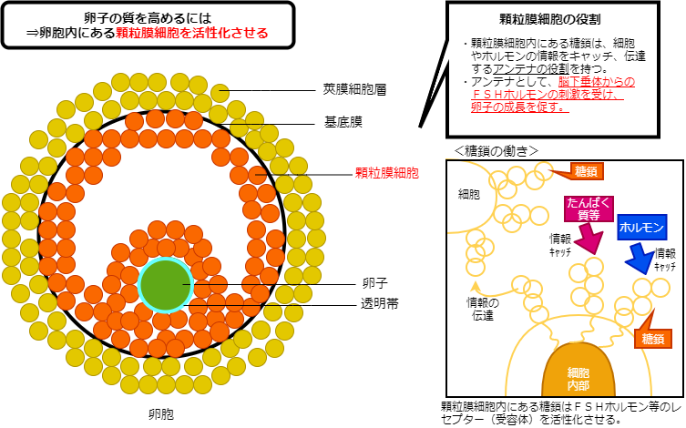 卵子の質と顆粒膜細胞